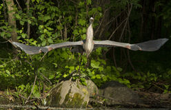 Grey great heron take off Stock Photo