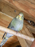 Grey green fledgling budgie in an aviary Royalty Free Stock Photo