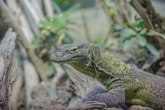 Grey and Green Iguana Royalty Free Stock Images