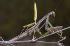 Grey green mantis religiosa mantidae posing on a branch. Grey green mantis religiosa mantidae posing on a thin branch bug nature wildlife predator antenna royalty free stock images