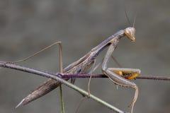 Grey green mantis religiosa mantidae posing on a branch. Grey green mantis religiosa mantidae posing on a thin branch bug nature wildlife predator antenna stock photo