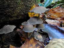 Grey group of mushrooms next to rock in forest royalty free stock photos