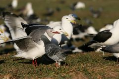 Grey Gull And Western Gulls Royalty Free Stock Image
