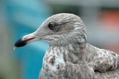 Grey Gull background for colors Royalty Free Stock Photo