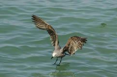 Grey gull fishing Royalty Free Stock Photos