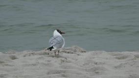 Grey Gull Walking en la playa almacen de metraje de vídeo