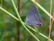 Grey Hairstreak Royalty Free Stock Photo