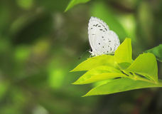 Grey hairstreak butterfly Stock Photography