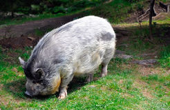 Grey hairy big pig on green grass Royalty Free Stock Photography
