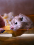 Grey hamster Royalty Free Stock Photo