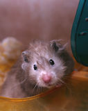Grey hamster Royalty Free Stock Photos