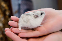 Grey hamster in hand. Little gray fluffy hamster sitting in the palm of your hand Stock Images