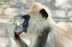 Grey Hanuman apa i Sri Lanka Arkivbild
