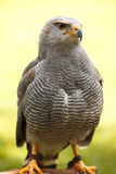 Grey Hawk Stockfotos