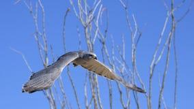 Grey Hawk flying Royalty Free Stock Image