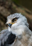 grey hawk Royalty Free Stock Image