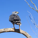 Grey Hawk Stock Image