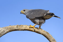 Grey Hawk Royalty Free Stock Photography