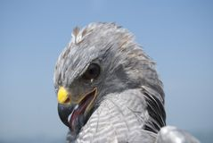 Grey Hawk Portrait Stock Photos