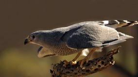Grey Hawk Takeoff Fotografia Stock Libera da Diritti