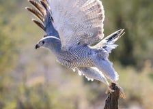 Grey Hawk Royalty Free Stock Photos