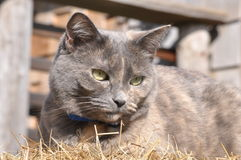 Grey and Hay. A grey cat sitting on some hay Royalty Free Stock Photo