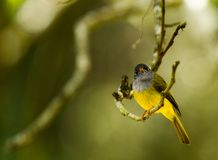 Grey Headed Canary Flycatcher arkivfoto