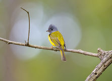 Grey-headed Canary-flycatcher (Culicicapa ceylonensis) Royalty Free Stock Images