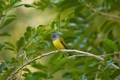 Grey-headed canary-flycatcher, Culicicapa ceylonensis, Mount Abu, Rajasthan, India. Grey-headed canary-flycatcher or Culicicapa ceylonensis, Mount Abu, Rajasthan royalty free stock photo