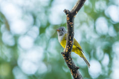 Grey-headed Canary-Flycatcher Stock Image