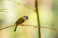 Grey-headed Canary-flycatcher Royalty Free Stock Image