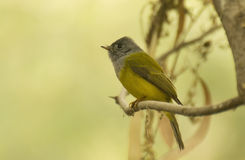 Grey-headed Canary-flycatcher in its habitat Royalty Free Stock Image