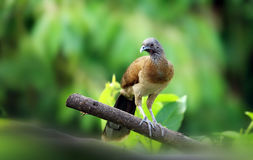 Grey-headed Chachalaca. Looks for food in the woods Stock Photos
