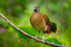 Grey-headed chachalaca, Ortalis cinereiceps, art view, exotic tropic bird in forest nature habitat, pink and orange flower tree, d Stock Photography
