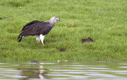Grey Headed Fish Eagle Stock Images