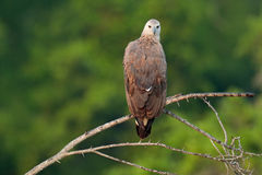 Grey-headed fish eagle, Ichthyophaga ichthyaetus, perched on branch in nice morning light against blurred forest in background. Wi Royalty Free Stock Image