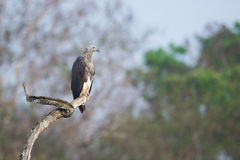 Grey headed fish eagle perching. In forest Royalty Free Stock Image