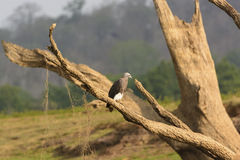 Grey-Headed Fish Eagle on a River Bank Royalty Free Stock Images