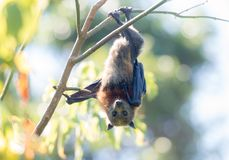 Flying-fox royalty free stock image
