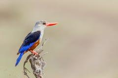Grey-headed or Grey-hooded Kingfisher - Halcyon leucocephala Stock Images