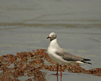 Grey-headed Gull Royalty Free Stock Images