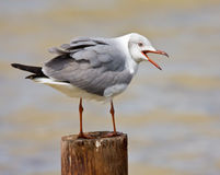Grey-Headed Gull Stock Images
