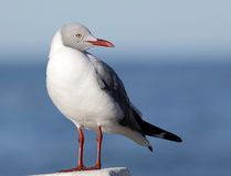 Grey headed gull Royalty Free Stock Images