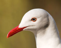 Grey headed gull Stock Photography