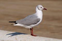 Grey-headed Gull Royalty Free Stock Photos