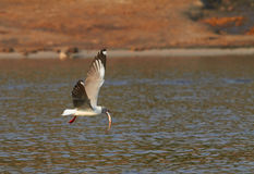 Grey Headed Gull Stock Photos