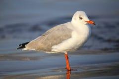 Grey-headed Gull on a beach in Paracas Bay, Peru Stock Photo
