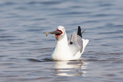 Grey headed gull with big fish in mouth Royalty Free Stock Photo