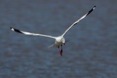 Grey-headed gull (Chroicocephalus cirrocephalus). In flight Stock Image