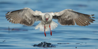 Grey-headed Gull coming in to land stock image